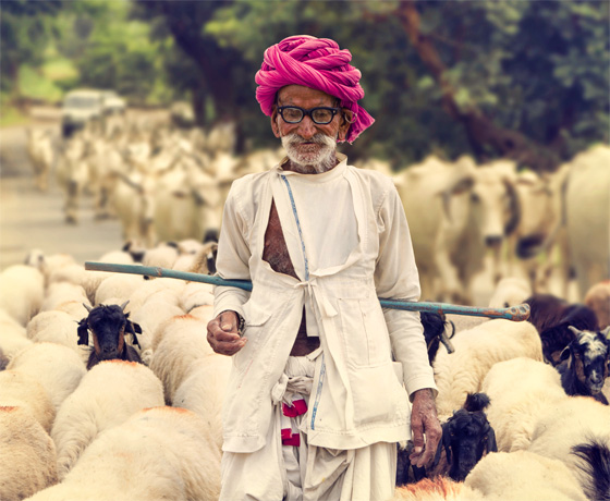 A traditional Rajasthani shepherd with his sheep on the road from Jodhpur to Jaisalmer