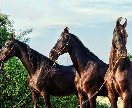 Three Marwari stallions through bred in Rajasthan. We can organise expert led luxury horse safaris in Rajasthan